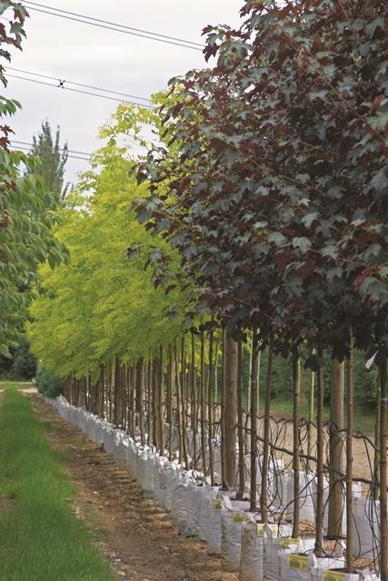 Acer pseudoplatanus Spaethii at barcham trees