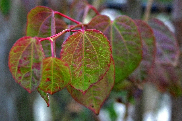 beautiful leaves of Cercidiphyllum japonicum multi-stem