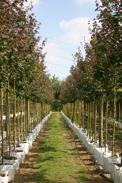 Acer campestre Louisa Red Shine at barcham trees