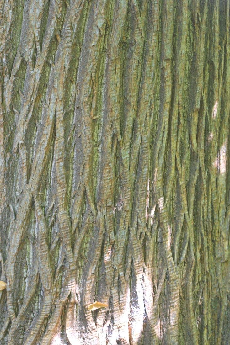 The bark of Castanea sativa