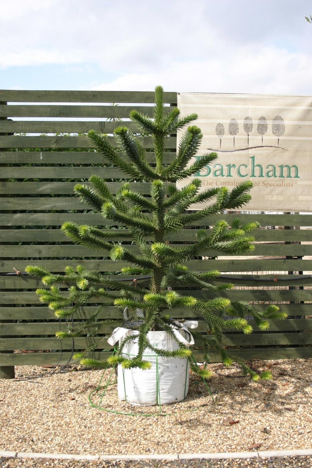 Araucaria araucana at Barchan Trees