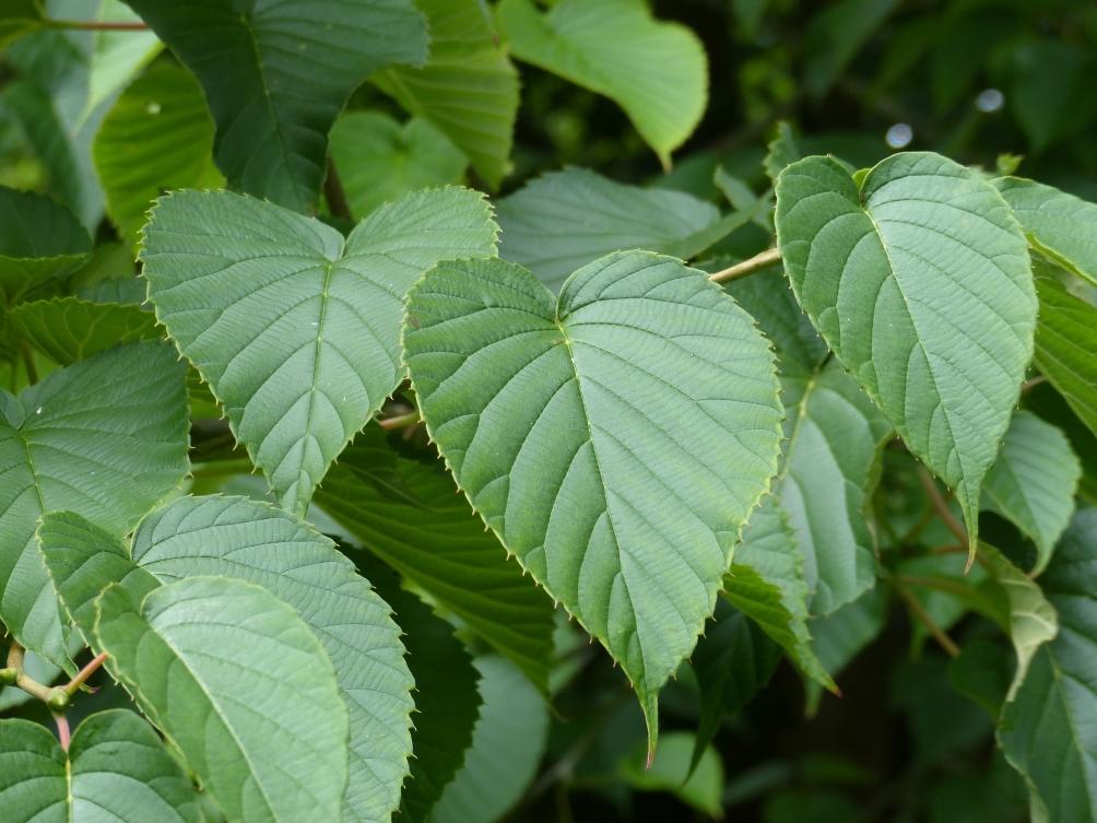 Summer foliage of Davidia involucrata