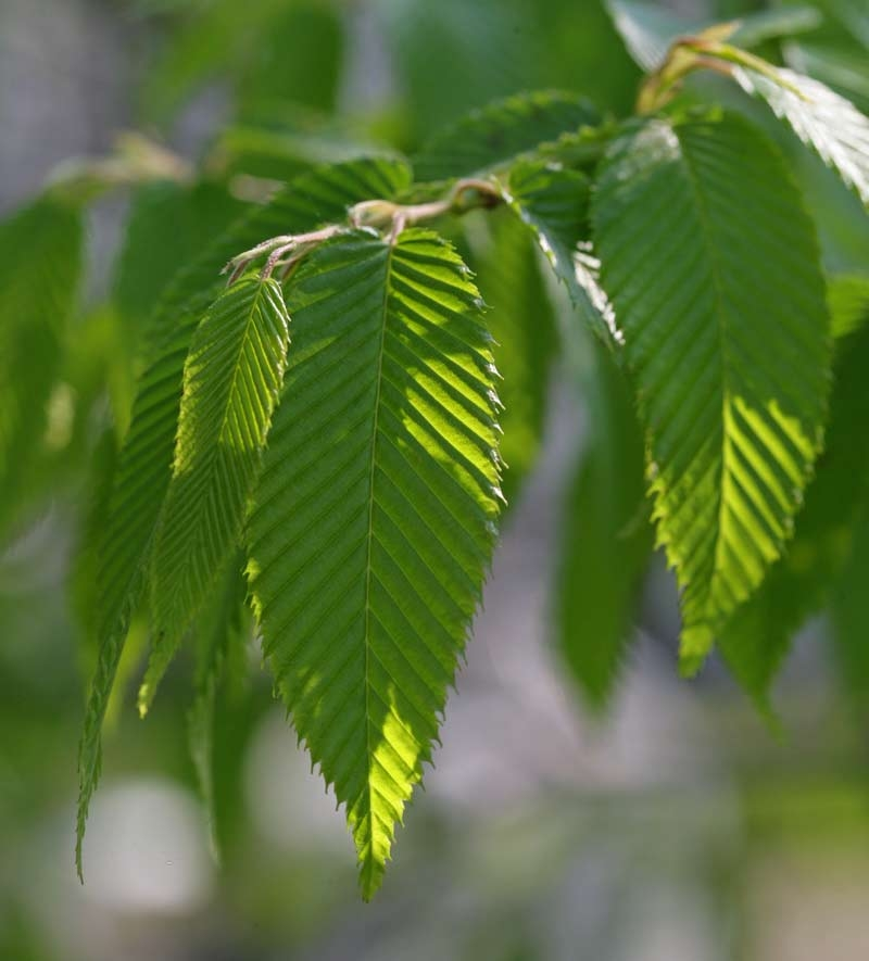 Foliage of Zelkova serrata Green Vase