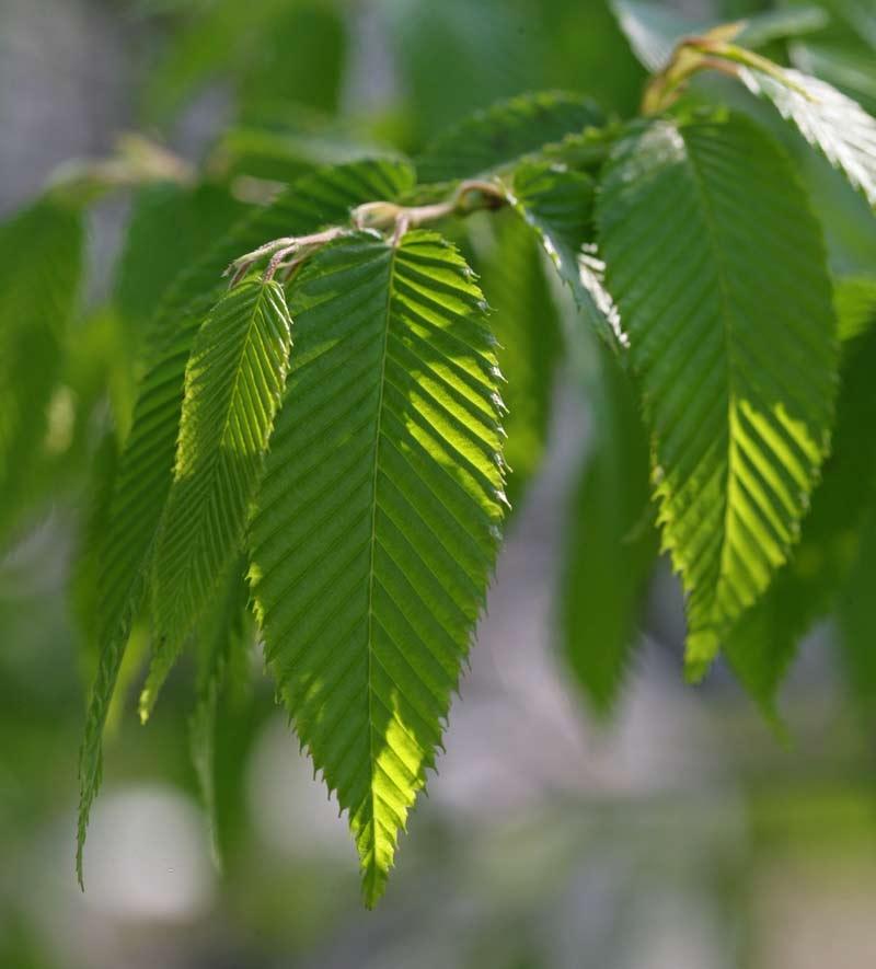 Barcham Pro Trees