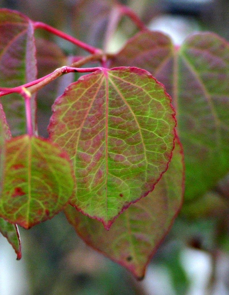 the pretty leaf of Cercidiphyllum japonicum