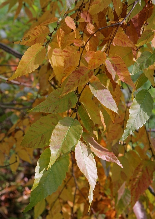 Autumn foliage of Zelkova serrata