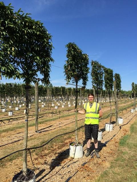 Ostrya carpinifolia Pleached to scale on the barcham trees nursery
