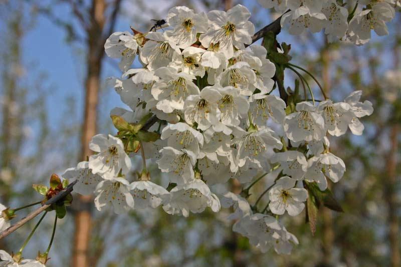 the white blossom of Prunus avium