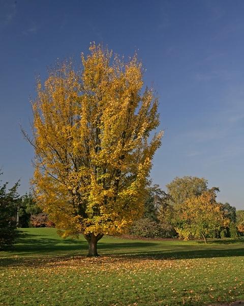 Mature Acer rubrum in Autumn