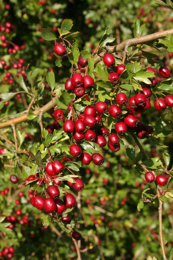 The bright red fruits of Crataegus monogyna in detail