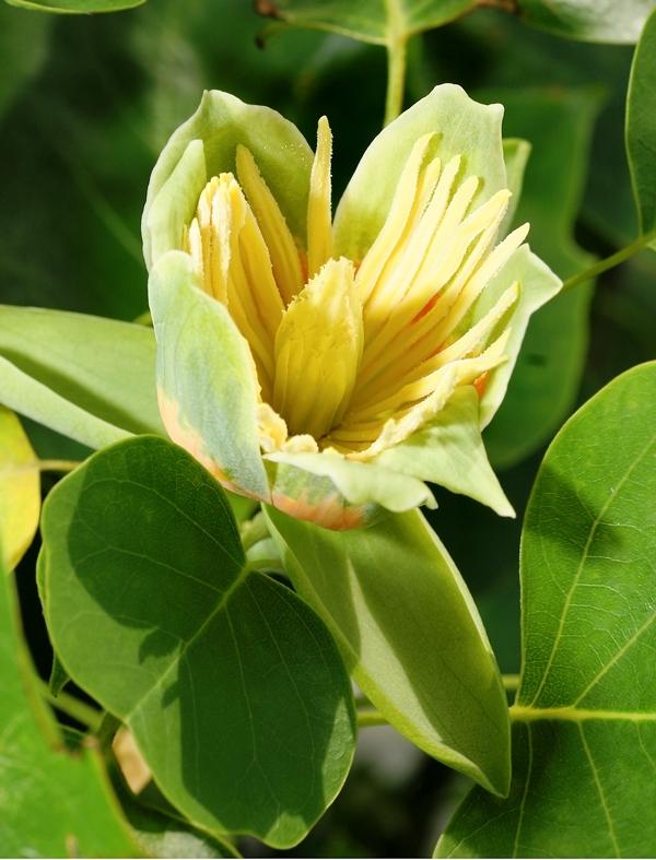 The tulip like flower of  Liriodendron tulipifera
