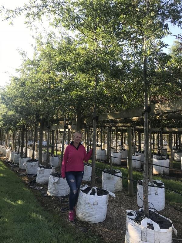 Quercus phellos on the barcham trees nursery