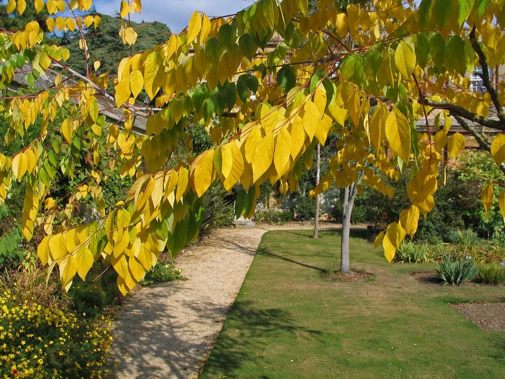autumn foliage of Gymnocladus dioica