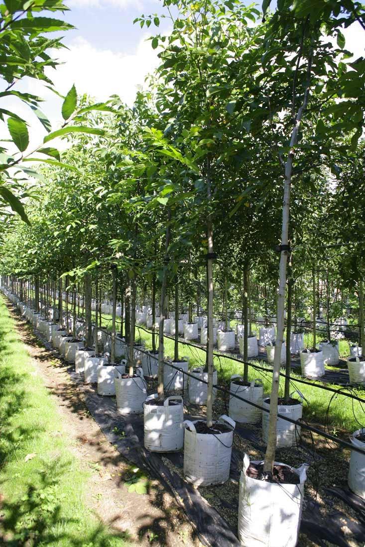 Juglans regia at barcham trees