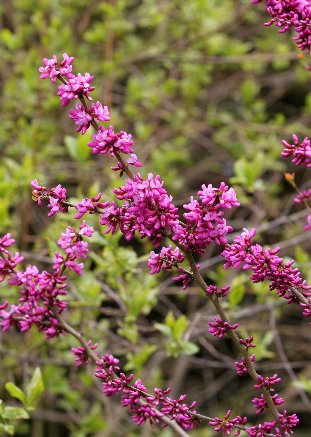 the flowers of Cercis Chinensis Avondale multi-stem