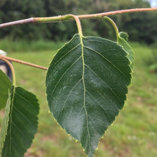 The small leaf of Betula utilis Jacquemontii Snow Quee
