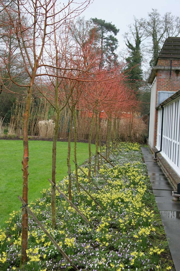 Tilia cordata Winter Orange in the winter with no foliage showing the stems