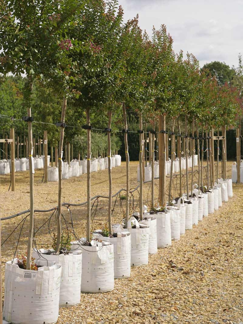 Lagerstroemia indica Violacea on the Barcham trees nursery