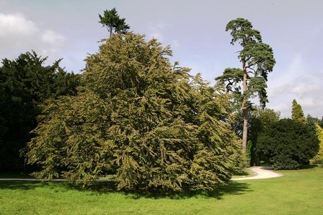 mature Cercidiphyllum japonicum multi-stem