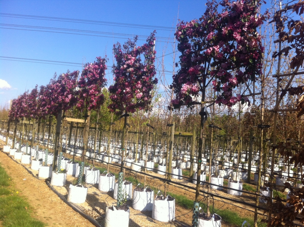 pleached Malus Rudolph