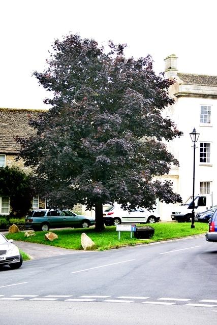 mature Acer platanoides Crimson King