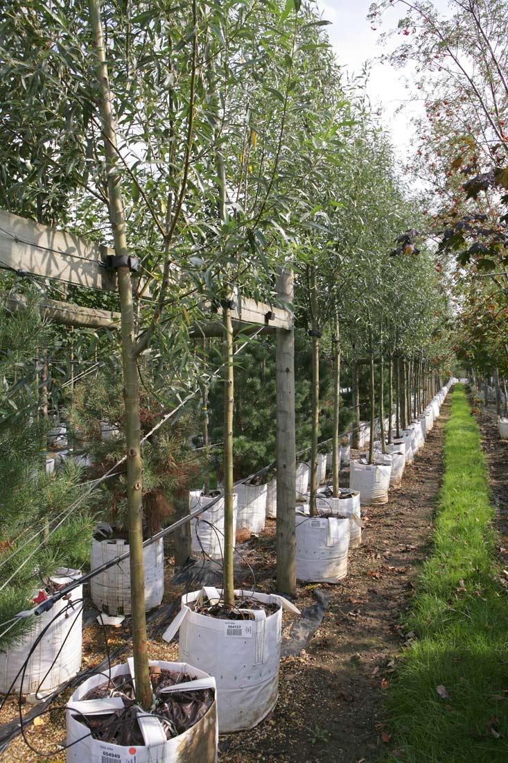 Row of Salix alba on Barcham Trees nursery