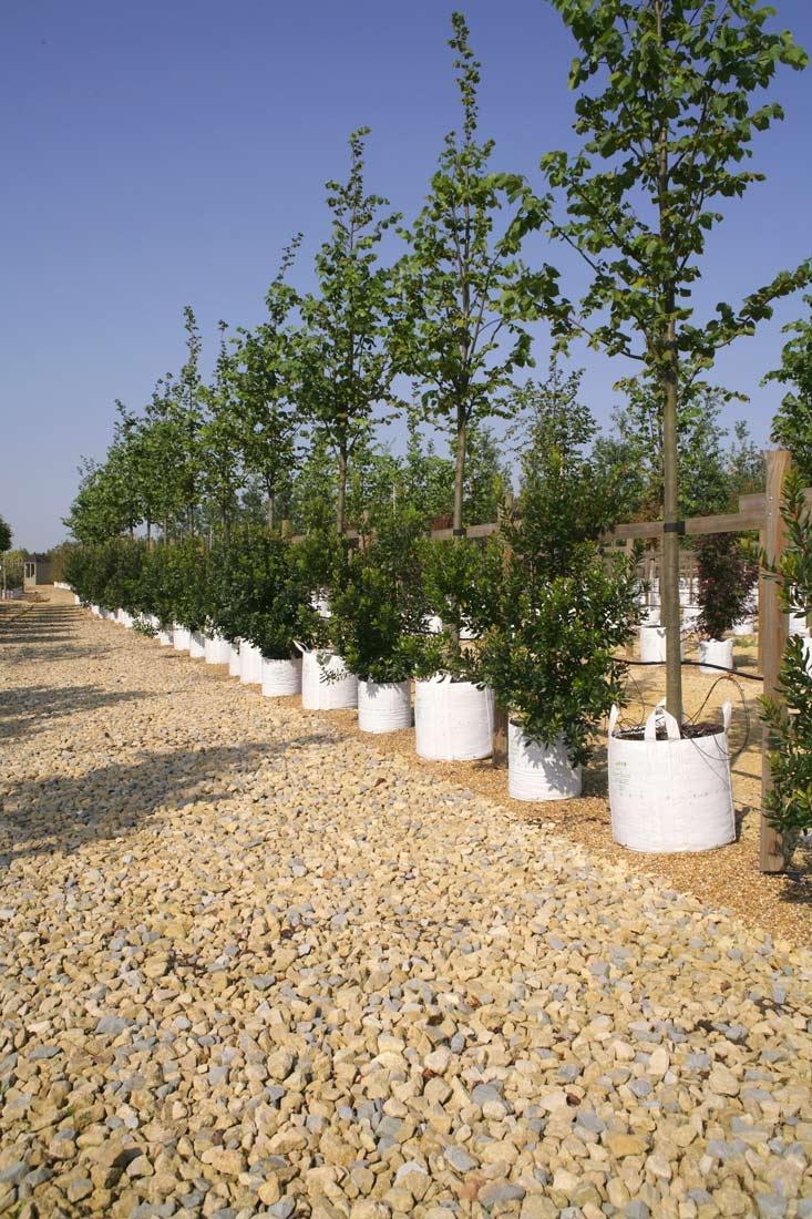 Row of Tilia x europaea Pallida on Barcham Trees nursery