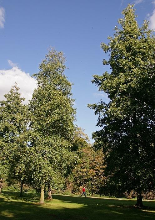 Mature  Ailanthus altissima