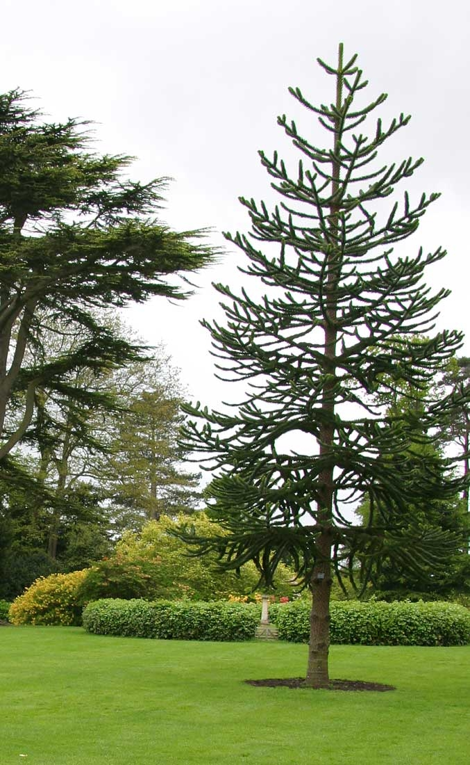 Mature   Small Monkey Puzzle from this batch <> Araucaria araucana