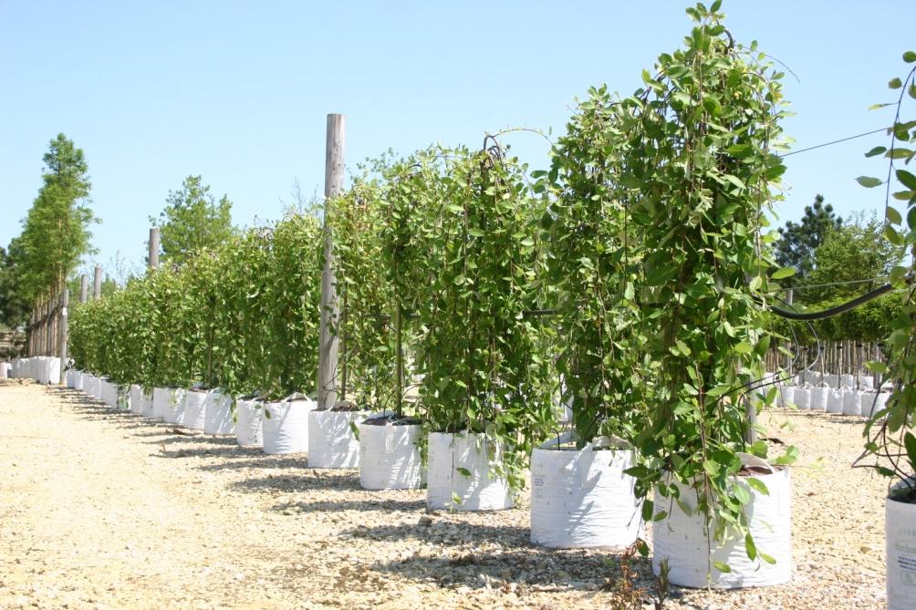 Row of Salix caprea Pendula on Barcham Trees nursery