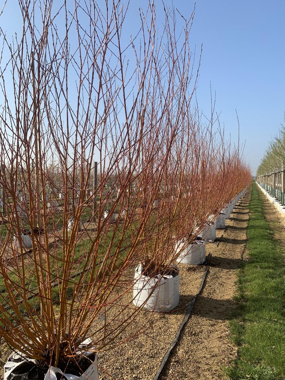 Salix alba Chermesina multi-stem in winter