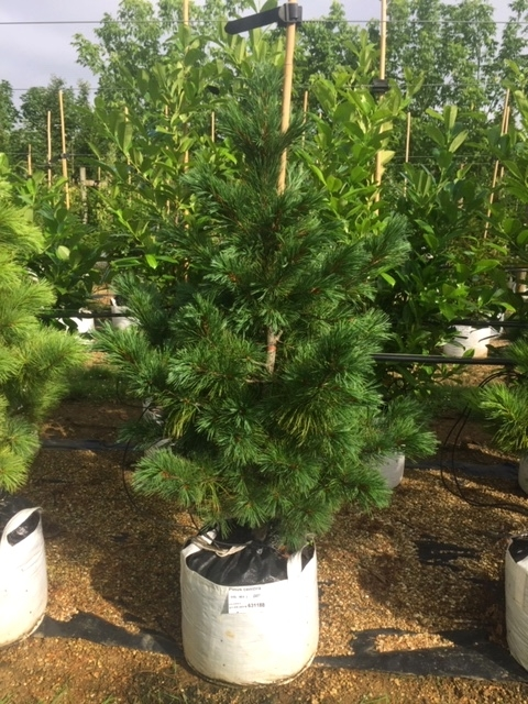 Pinus cembra at barcham trees