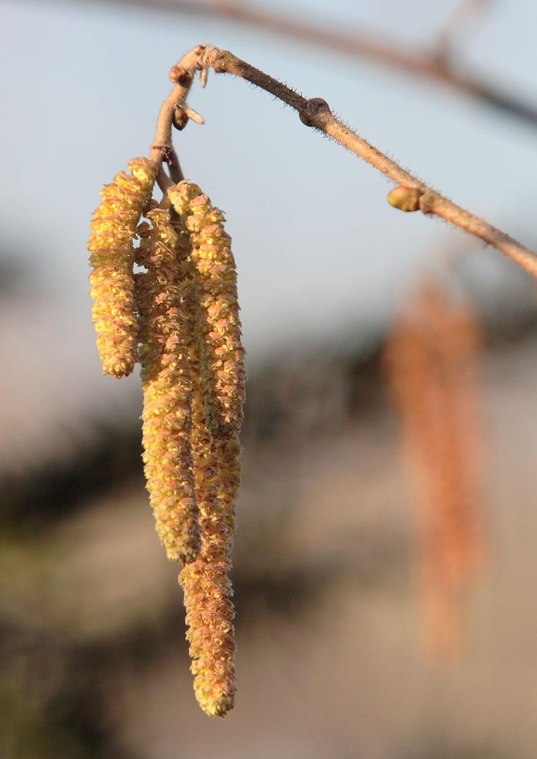 catkin of Corylus avellana multi-stem