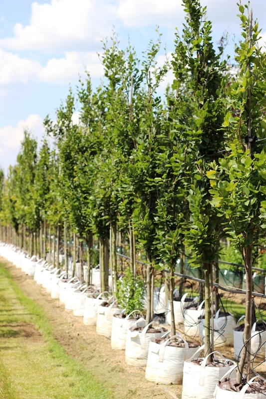 Fagus orientalis Iskander showing height, 12-14cm girth Fagus orientalis Iskander showing height, 12-14cm girth Fagus orientalis Iskander showing height, 12-14cm girth Previous Next Fagus orientalis Iskander on the Barcham Trees nursery in summer monthsFa