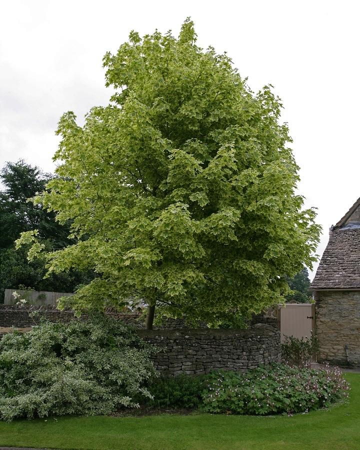 Mature specimen of Acer platanoides Drummondii