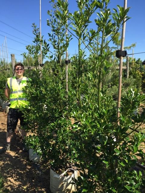 Ilex aquifolium Pyramidalis at Barcham Trees