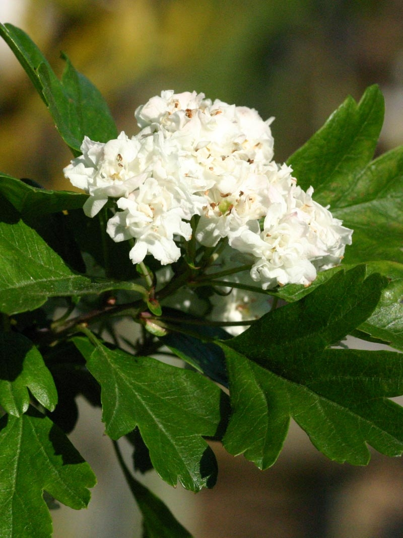 the double white flower of Crataegus monogyna Alboplena