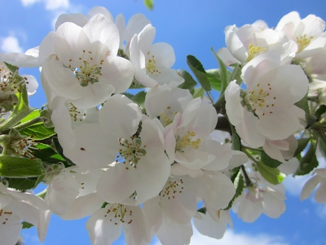 crisp white flowers of Malus discovery