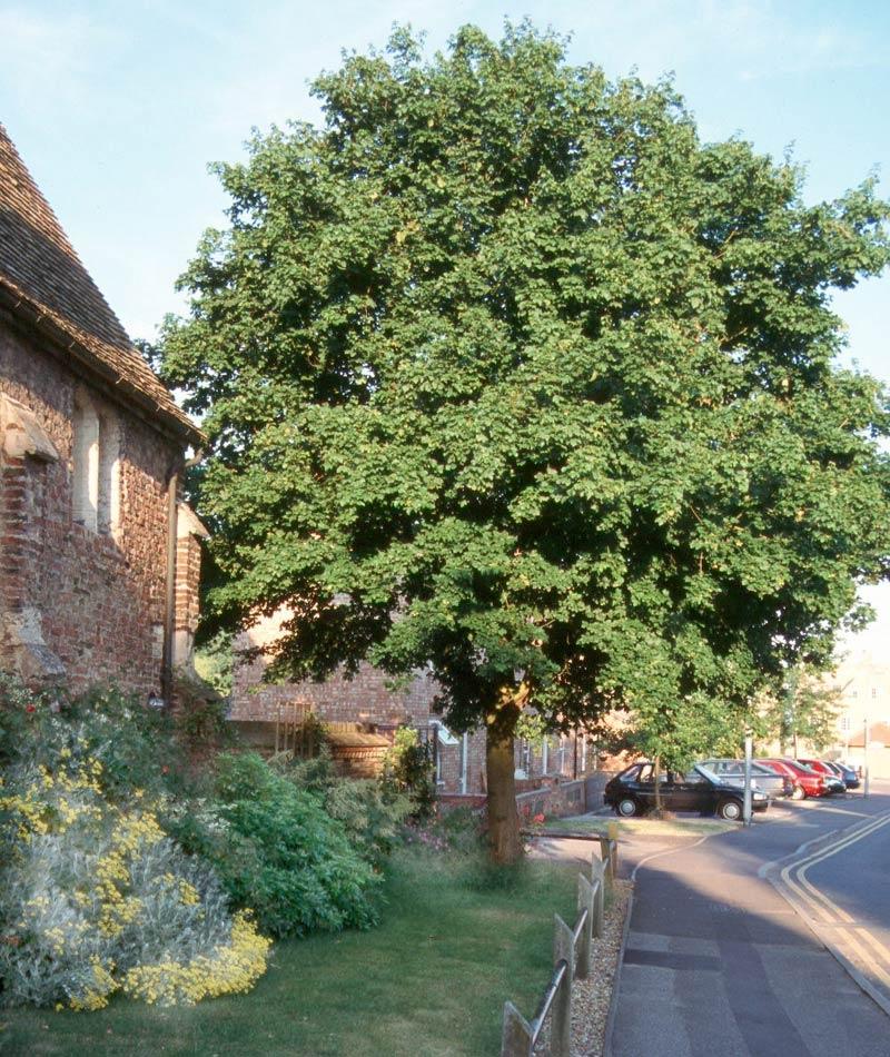 mature Acer campestre