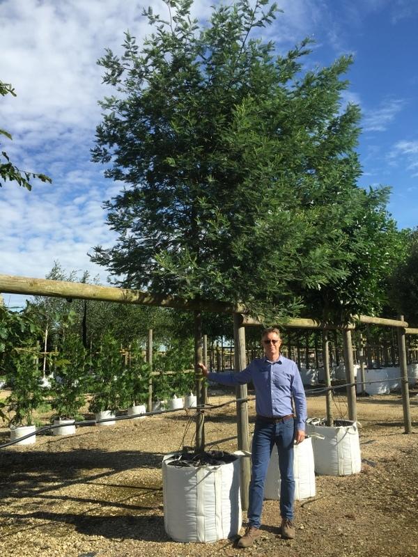 Acacia dealbata at barcham trees