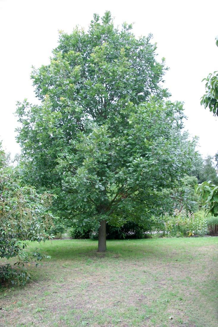 Mature specimen of Quercus frainetto