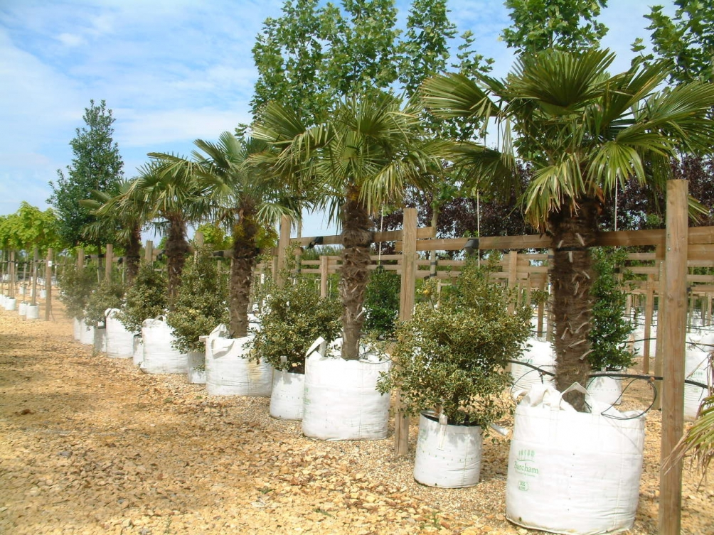 Trachycarpus fortunei on Barcham Trees nursery