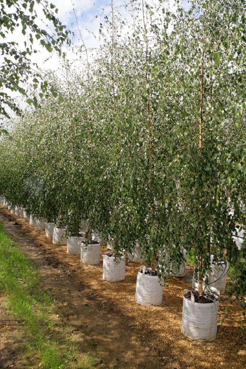 Betula pendula Youngii at barcham trees
