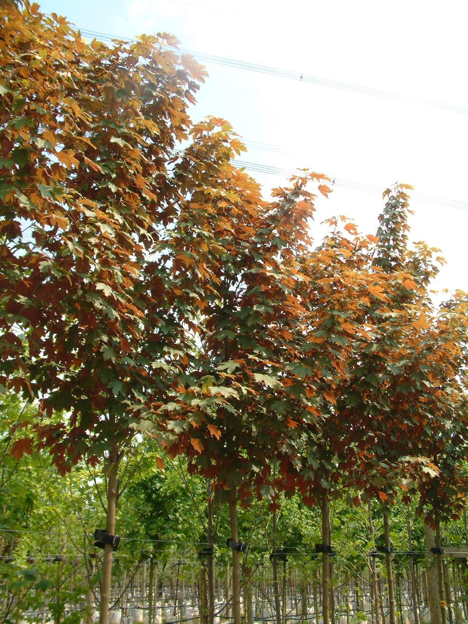 crown shot of Acer pseudoplatanus Spaethii