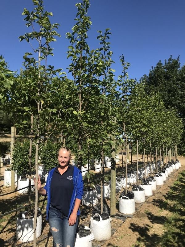 Magnolia Spectrum at barcham trees