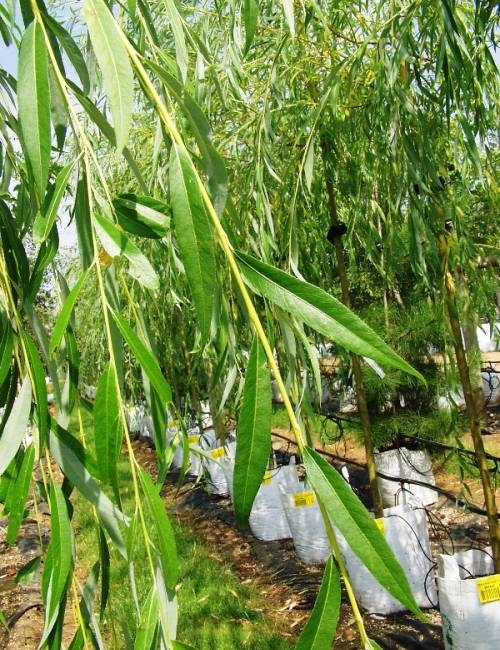 Foliage of Salix alba Tristis