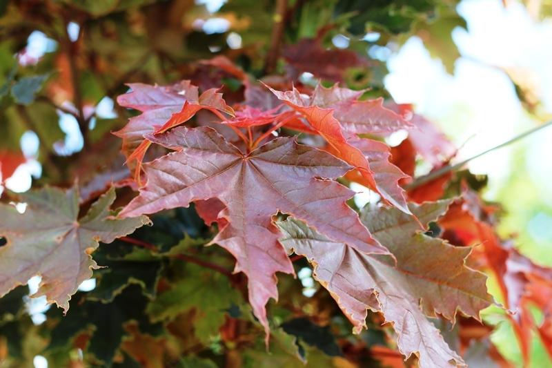 The leaves of Acer platanoides Crimson Sentry