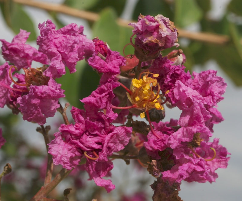 the pink flowers of Lagerstroemia indica Rosea