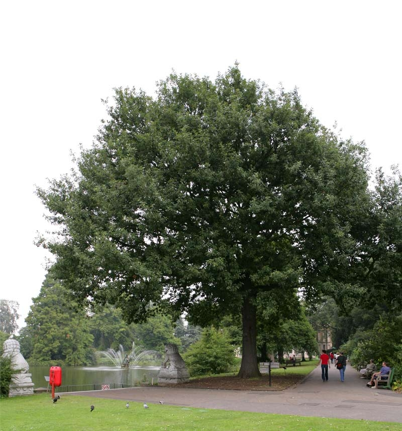 Mature Quercus petraea