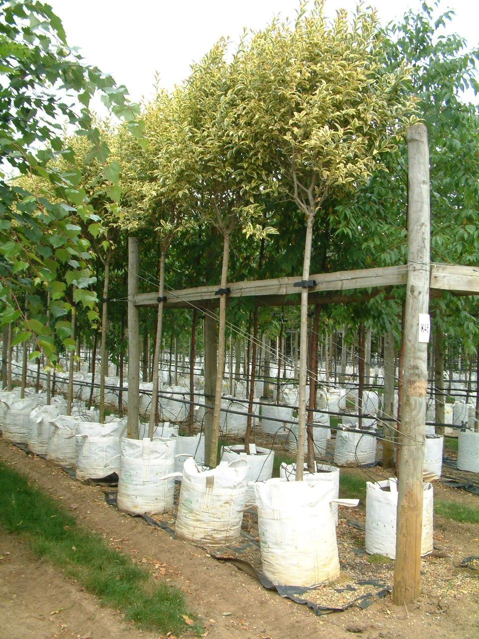 Ligustrum lucidum variegata